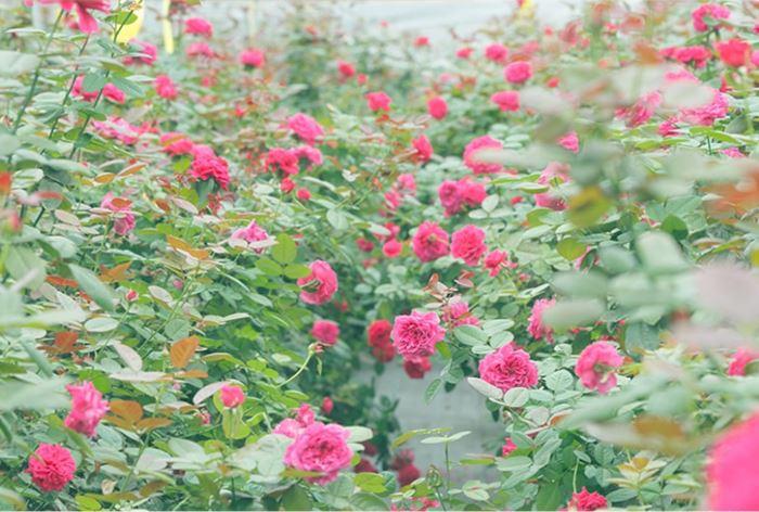 ローズラボで栽培されているバラの写真